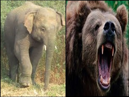 महासमुंद : हाथी ने युवक को कुचला, भालू के हमले में युवक घायल
