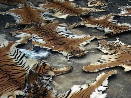 सौदे से पहले ही तीन तस्करों को वन अमले ने पकड़ा, बाघ की खाल जब्त