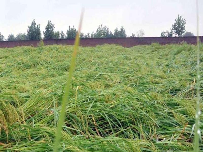 Rain in Chhattisgarh : बेमौसम बारिश से खेतों में गिरी धान की फसल