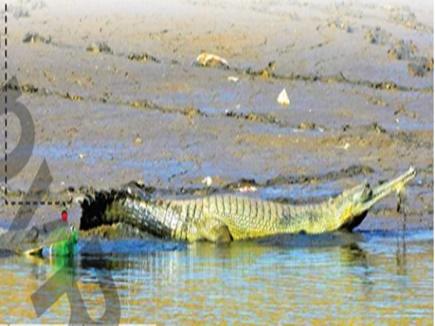 Alligator Rescue: मुंह में उलझा जाल घड़ियाल और रेस्क्यू टीम के लिए बना जी का जंजाल