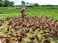 इस नायाब तरीके से किसान की बेटी ने बचाई 7000 मुर्गियों की जान