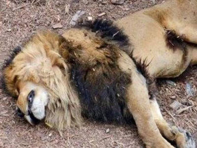 Coronavirus Advisory: कोविड-19 से शेर की भी मौत, केंद्र ने सभी राज्यों को जारी की एडवाइजरी