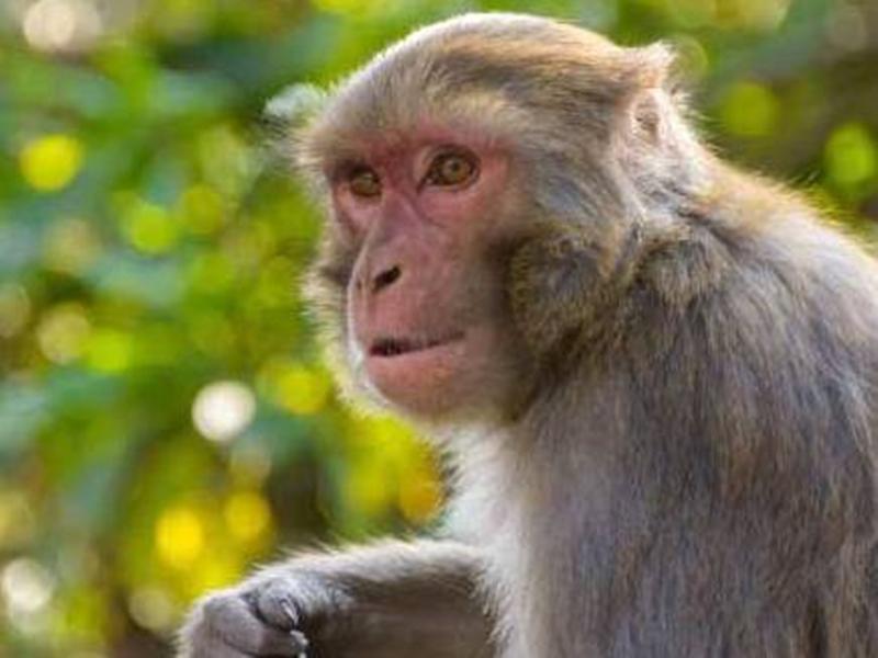 Jabalpur News: निगम के स्मार्ट स्कूल में बंदरों का उत्पाद, प्रोजेक्टर, वायर में झूलते रहे