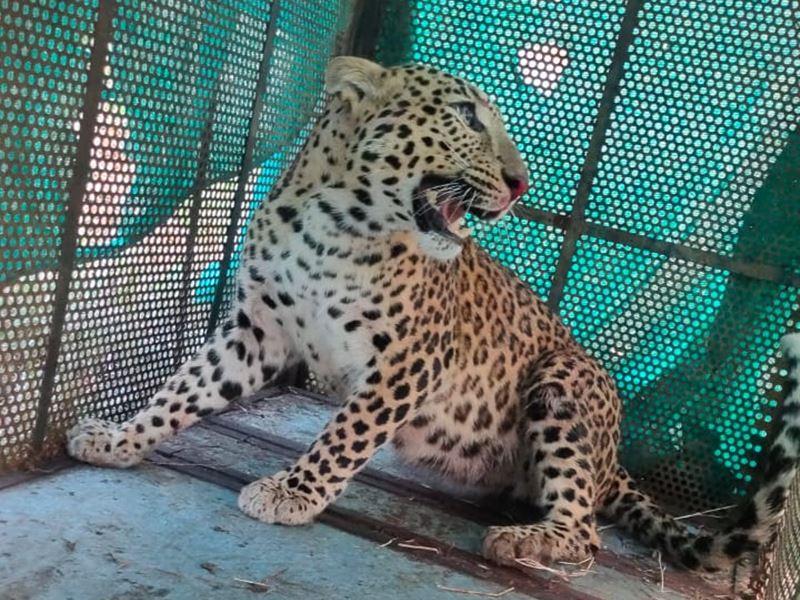 Indore Leopard Case: सीटी स्कैन की फिल्म से पता लगाएंगे किस बंदूक से चली गोली, छर्रों का साइज जानने के लिए फॉरेंसिक को भेजी रिपोर्ट