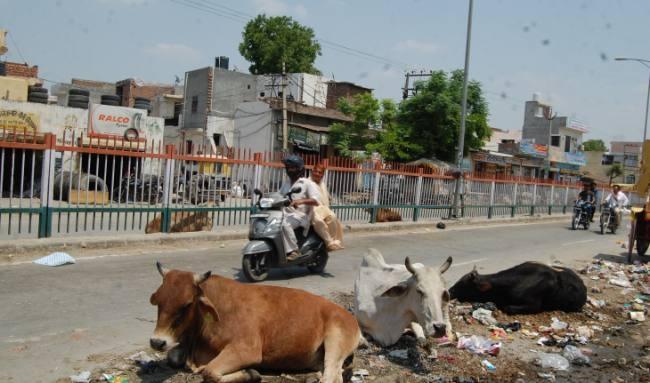 Jabalpur News: प्रदेश की सड़कों पर भटकने वाले मवेशियों के लिए ठोस कदम नहीं उठाए जा रहे