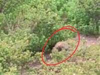 राजहरा में कभी भालू, हाथी तो कभी आता है तेंदुआ