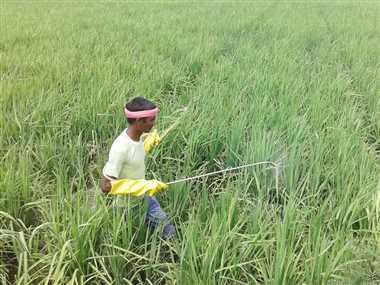 Paddy Crop In Dhamtari: छत्तीसगढ़ के धमतरी में धान फसल में कीट प्रकोप, किसान परेशान
