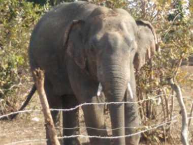 हाथी के कुचलने से बुजुर्ग ग्रामीण की मौत