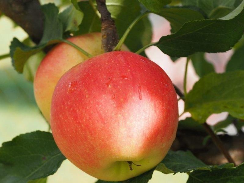 किसानों ने अदाणी एग्री फ्रेश को एक ही हफ्ते में 5000 टन सेब बेचे