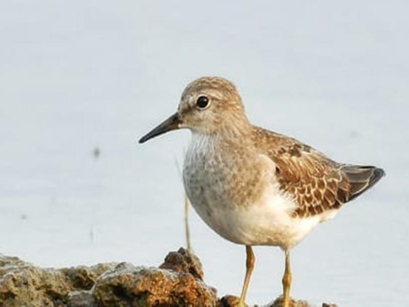 Migratory birds in Chhattisgarh : छत्तीसगढ़ में पहली बार कैमरे में कैद हुई इन प्रवासी पक्षियों की तस्वीर