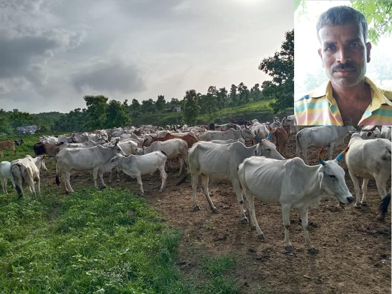 देवास जिले में 350 गायों की चलती-फिरती गोशाला चला रहा है यह शख्स