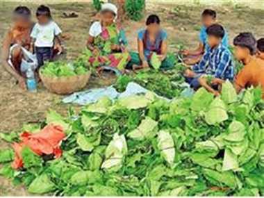 कांकेर जिले में तेदूपत्ता का संग्रहण कल से