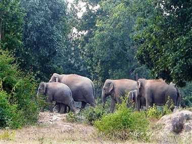 हाथियों ने दस्तक दी तो रेंज में बंद हो जाएगा तेंदूपत्ता संग्रहण