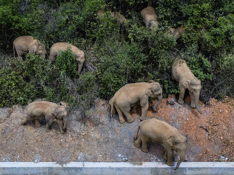 चीन के इस शहर में सालों से घूम रहा है हाथियों का एक झुंड, अब तक 500 KM चल चुके पर मकसद पता नहीं