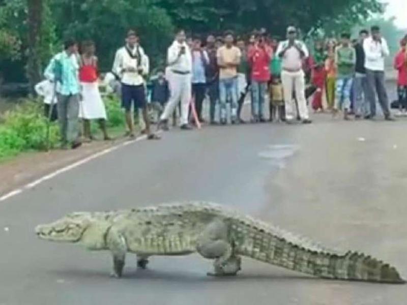 Crocodile Video: मध्य प्रदेश के शिवपुरी में हाईवे पर आया 10 फीट लंबा मगरमच्छ, देखें वीडियो