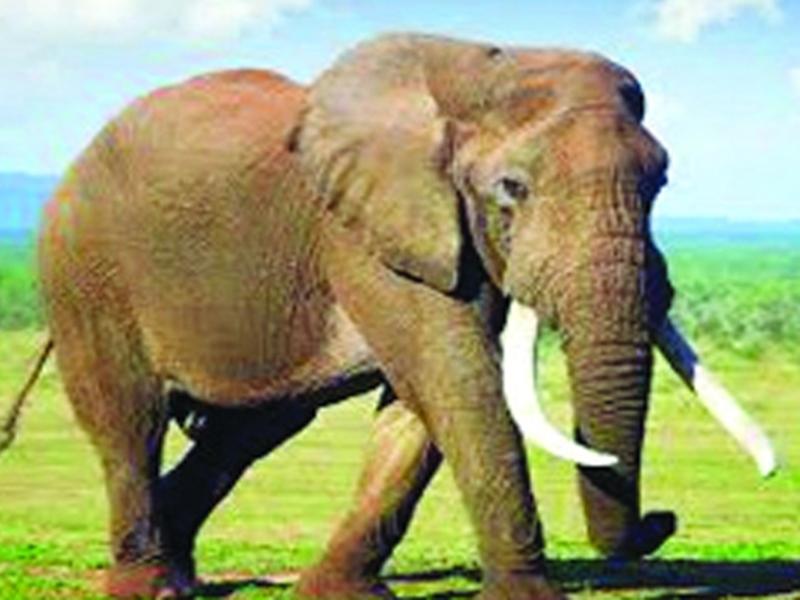 VIDEO : जब जंगल से गांव पहुंच गया दंतैल हाथी, फिर ऐसे मचा हड़कंप
