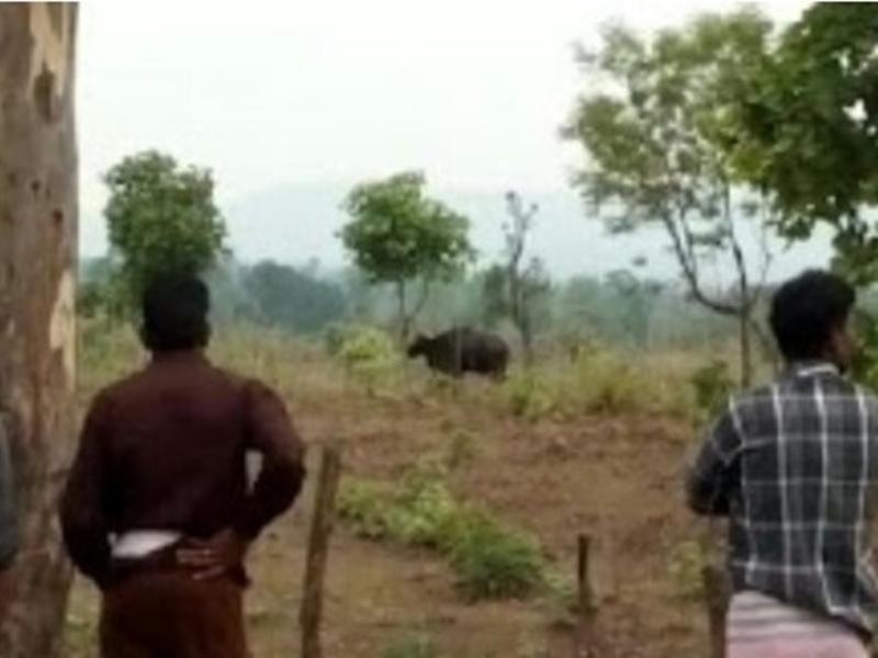 Bison in Village of Bilaspur: बिलासपुर के बेलगहना क्षेत्र में गांव के नजदीक पहुंचा बाइसन, ग्रामीणों में दहशत