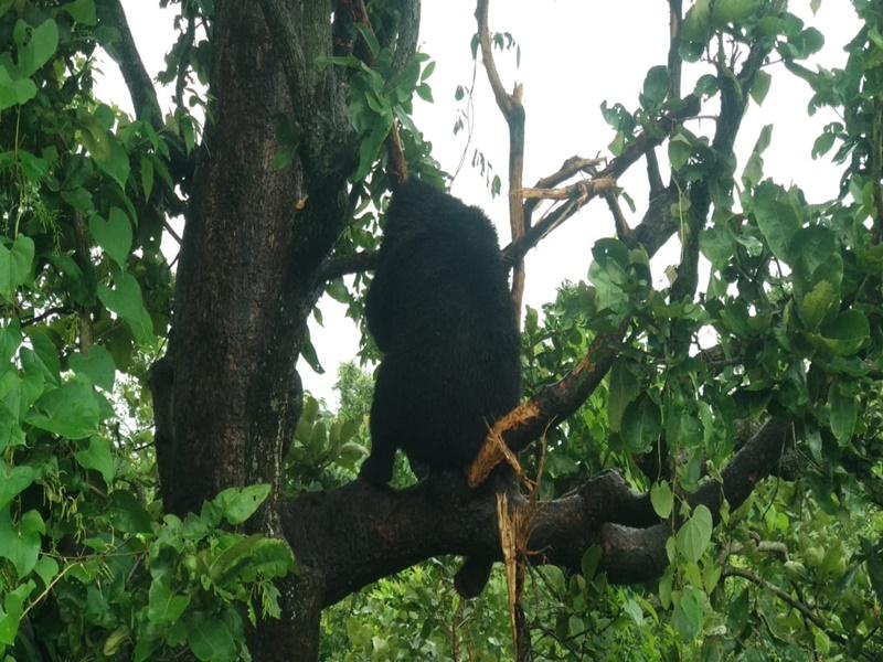 33 घंटे पेड़ पर फंसा रहा भालू, 3 घंटे की मशक्कत के बाद ऐसे उतारा, देखें VIDEO