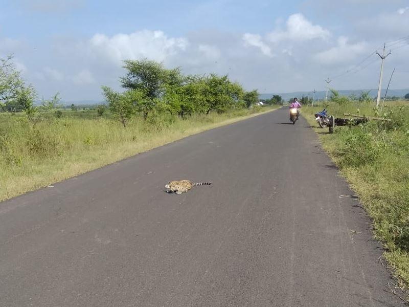 देवास जिले में अज्ञात वाहन की टक्कर से तेंदुआ घायल, सड़क किनारे खेत में छिप गया