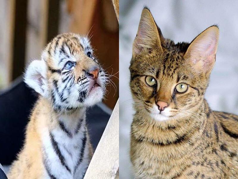 दंपती ने 5 लाख में ऑनलाइन खरीदी बिल्ली, गलती से घर पहुंच गया बाघ का बच्चा, जानें फिर क्या हुआ