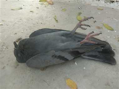 मृत मिले तीन पक्षी, 14 की पीएम रिपोर्ट आज आएगी