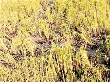 हाथियों के भय से फसल चक्र अपनाने को मजबूर हुए किसान