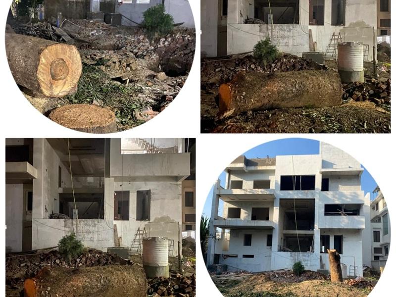 मुख्यमंत्री रोज रोपते हैं पौधा, इधर पाश कालोनी में बेरहमी से काट डाला 50 साल पुराना पेड़
