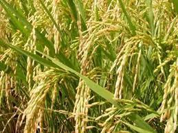 Bilaspur News: हरुना धान की फसल लेने वाले किसानों को सरकार दे प्रति एकड़ 50 हजार स्र्पये मुआवजा