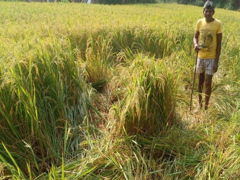 मध्य प्रदेश के शहडोल जिले में हाथियों के झुंड ने धान की फसल कर दी चौपट