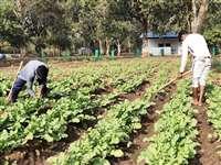 गोठान में खाली पड़ी जमीन पर सब्जी भाजी लगाकर ग्रामीण कर रहे कमाई
