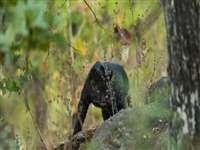 Seoni News: VIDEO पेंच नेशनल पार्क में फिर नजर आया काला तेंदुआ, सैलानियों ने दिया बघीरा नाम