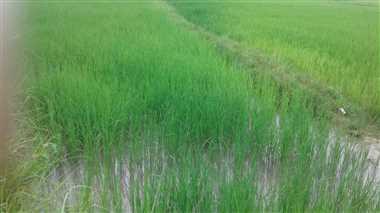 खेतों में जरूरत से अधिक पानी भरने से किसानों की बढ़ी चिंता