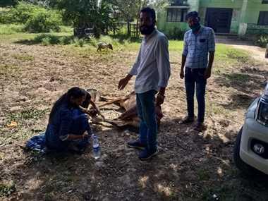 सड़क किनारे पड़ी घायल गाय का तहसीलदार ने किया इलाज
