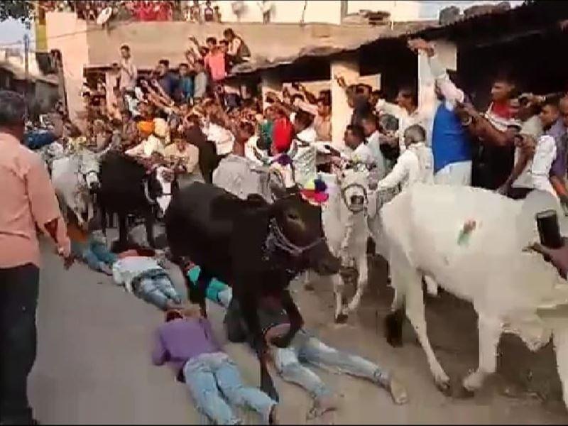 Gay Gohari Festival 2020: गाय गोहरी पर्व पर बड़नगर में मन्नतधारियों के ऊपर से गुजरी गायें