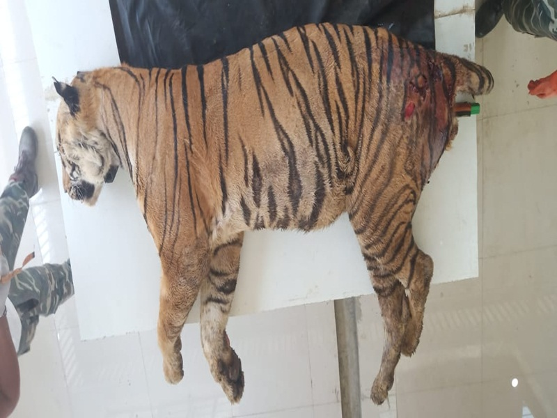 Rewa News: Mukundpur Tiger Safari lost another tiger