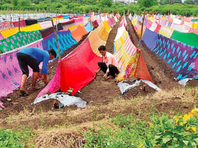 Jhabua News: किसानों ने फसल पर ओढ़ा दी 400 साड़ियां, ये है कारण