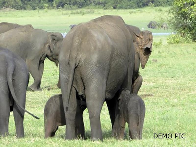 Korba News: कोरबी के जंगल में जन्मे दो नन्हे हाथी, झुंड ने अपनी सुरक्षा में घेरकर रखा