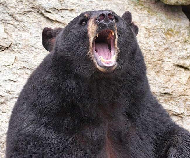 Bilaspur News: बच्चों की मौत के बाद आक्रामक हुई मादा भालू, लोग दहशत में