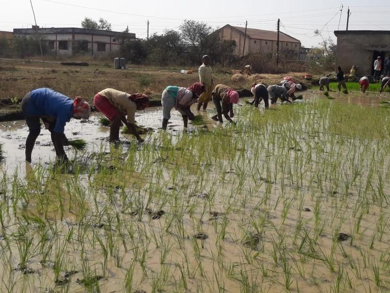 Agriculture News: सहायक नहरों से खेतों तक पहुंच रहा पानी, रबी की तैयारी में जुटे धमतरी के किसान
