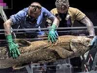हिन्द महासागर में मिली 4 पैरों वाली मछली, डायनासोर के समय की है ये प्रजाति