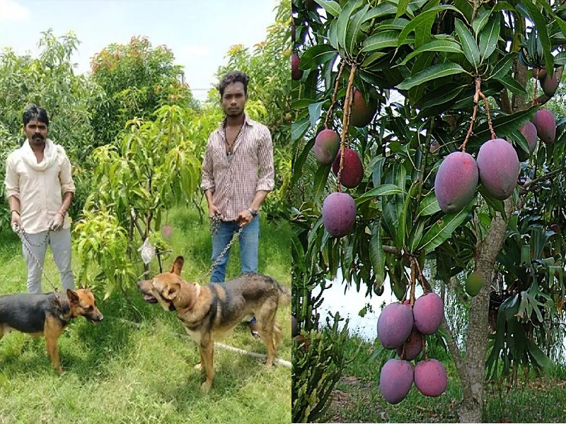 Miyazaki Mangoes The worlds most expensive mango is at this place in India  4 guards and 6 dreaded dogs engaged in security