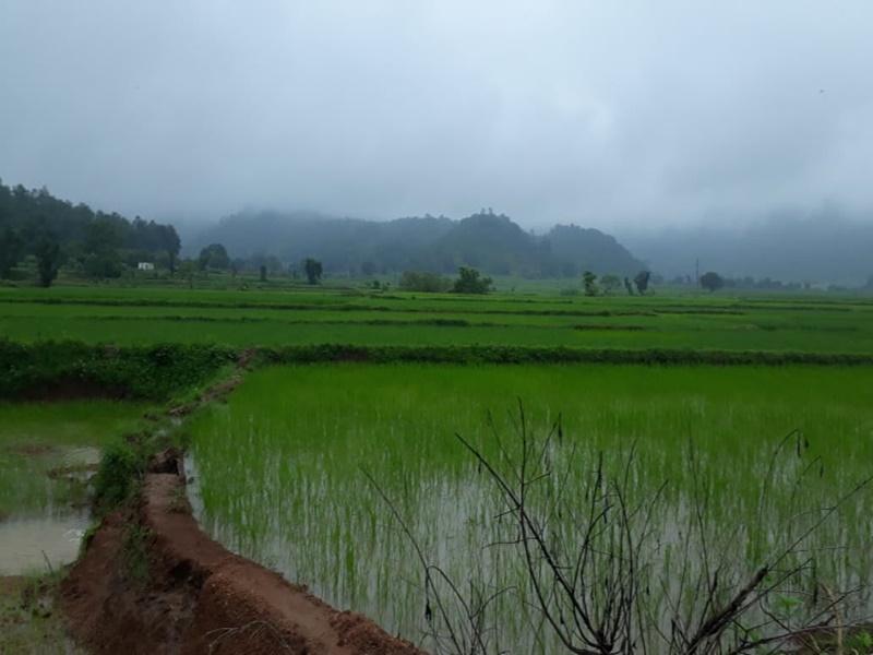 Agriculture News: अब धान- मक्के की फसल में लग रही इन बीमारियों से परेशान हैं सरगुजा के किसान