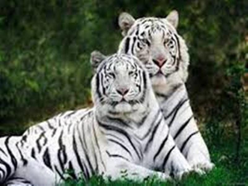 पांच साल बाद इंदौर के चिड़ियाघर में फिर दहाड़ेंगे सफेद बाघ