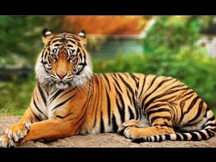 Bhopal News: बाघों को संरक्षित जंगल देने की चिंता छोड़ रसूखदारों को बचाने की कर रहे कोशिशें