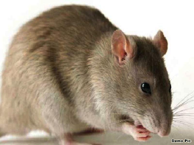 इंदौर जिला अस्पताल की माच्युरी में चूहों ने शव के गाल व अंगुली को कुतरा