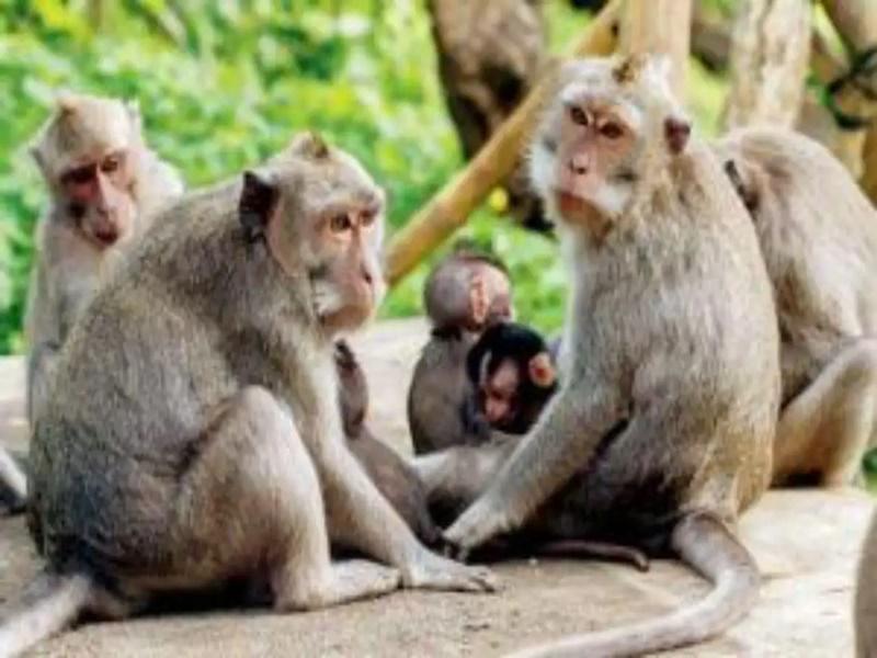 Monkey B Virus: चीन में 'मंकी-बी' वायरस से संक्रमित पहले व्यक्ति की मौत, जानिए कारण, लक्षण और इलाज