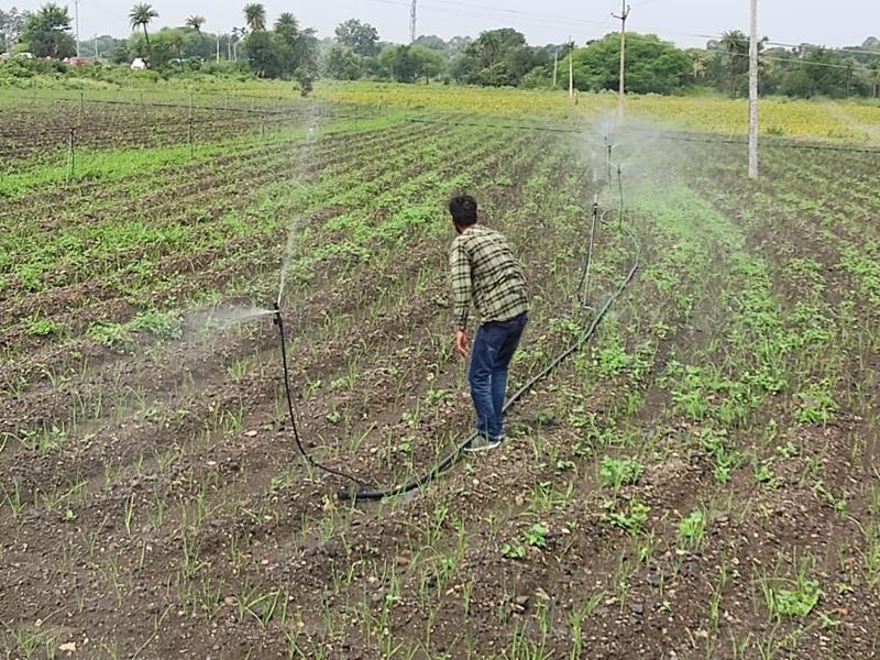 पानी की कमी से मंदसौर में कम हुई 'ऊंटी लहसुन'  की महक, दक्षिण भारत में रहती है अधिक मांग