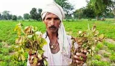 किसानों पर आफत, मूंगफली की फसल चट कर रही दीमक