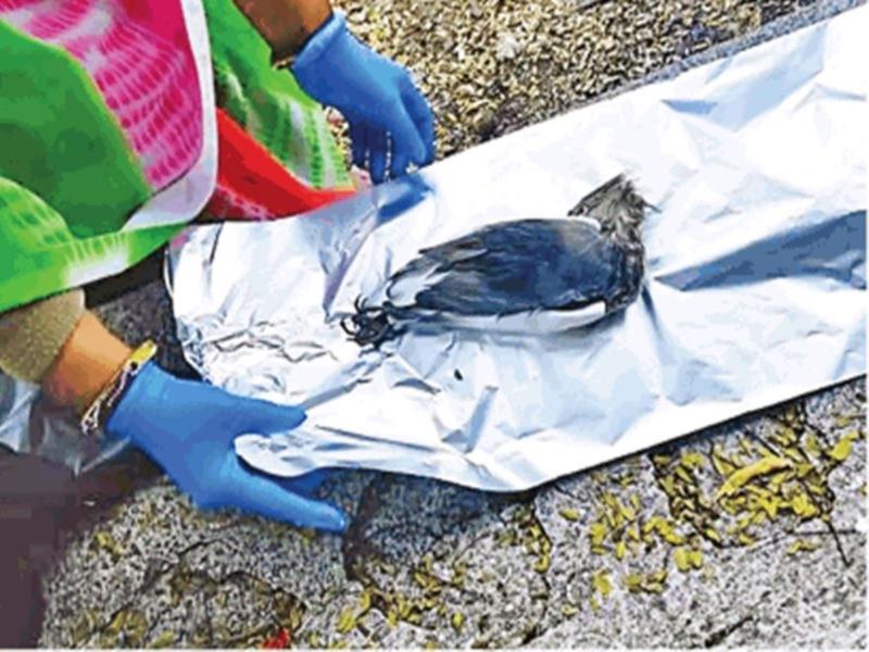 Bird Flu in MP: प्रदेश में 3800 से ज्यादा परिंदों की हो चुकी मौत, तापमान बढ़ने पर कम हो सकता है असर