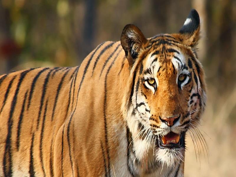 Madhya Pradesh News: बाघों को शिकार कम न पड़े, इसलिए सतपुड़ा भेजेंगे 1300 चीतल